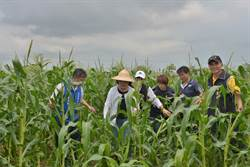 雲林玉米實際災損逾2成 張麗善爭取中央救助