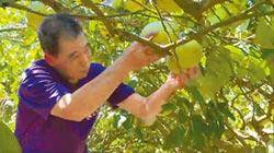 術後無力收成 冬山農開放採柚