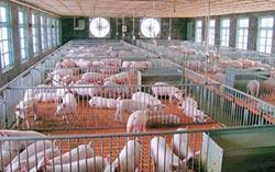 豬還沒肥就賣 養殖場賺不到錢