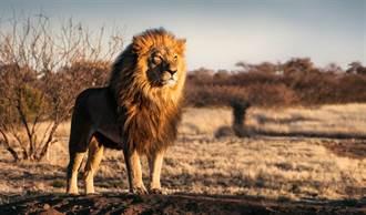 萬年前獅子糞便 驚見最古老寄生蟲