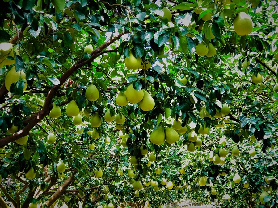 明天起就是農曆8月,收柚子的季節已開始,要提防大雨。(圖/農委會提供)