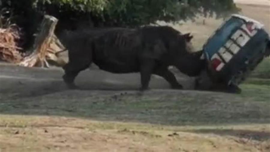 公犀牛庫西尼(Kusini)突然抓狂,狂撞車子。(圖/取自《鏡報》)