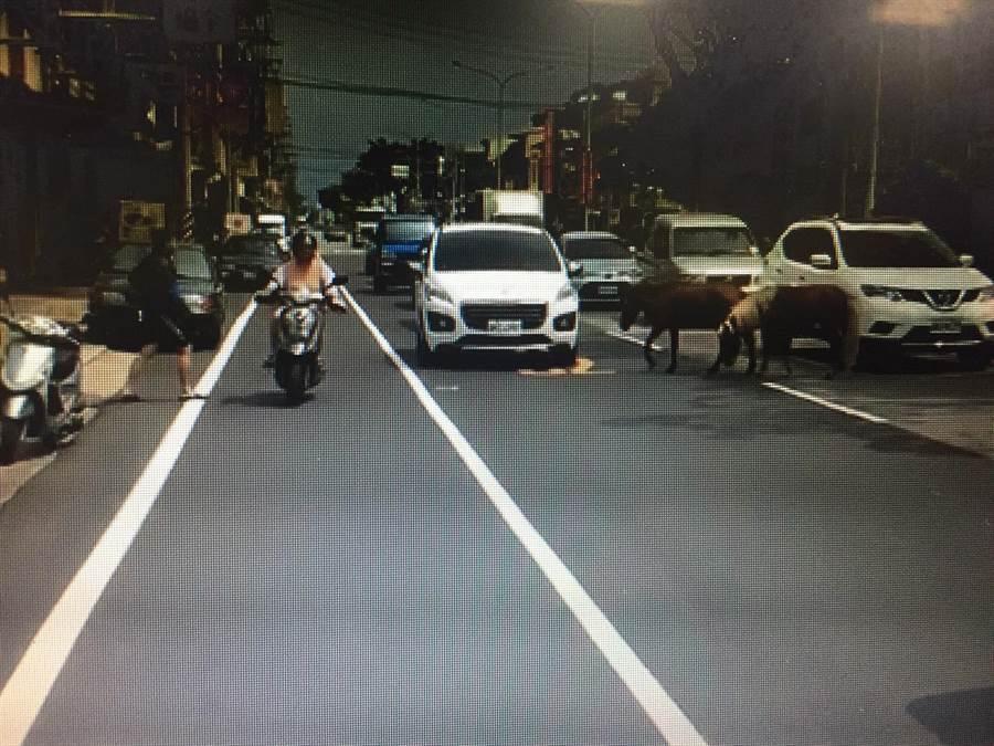 省道台3線出現2隻迷你馬閒晃,路過車輛駕駛看傻了眼,紛紛放慢車速閃避。(王文吉翻攝)