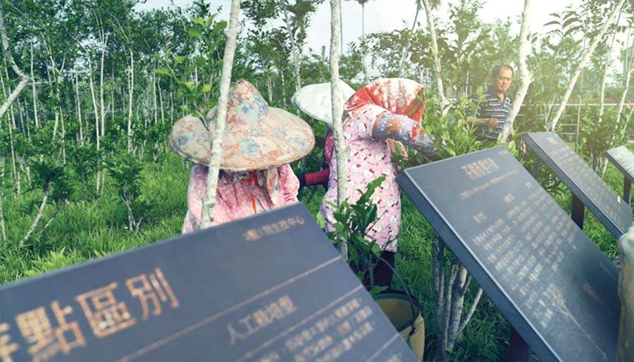 3點1刻護育研發基地種植的台茶18號,經過長達11年培育有成,已開始採摘生產。圖/3點1刻提供
