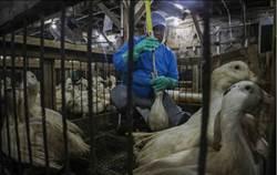 強制餵食太殘忍 紐約市擬禁售鵝肝