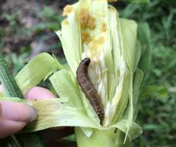 嘉義市發現秋行軍蟲首例 全國都有蟲蹤