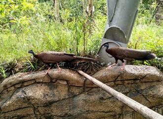 熱帶雨林館好夯!成大寶冠鳥、青鸞捉迷藏好去處