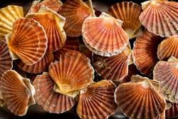 扇貝海底移動速度超驚人 萬人看傻
