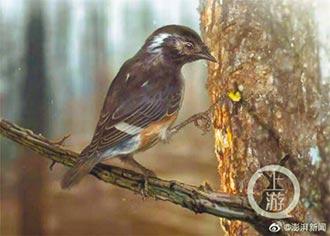 億年前琥珀鳥現蹤 新譜古鳥類史