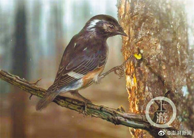 琥珀鳥模擬圖。(取自微博@澎湃新聞)