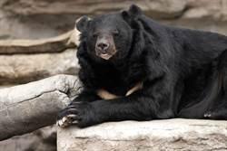 黑熊發懶驚被偷拍 下秒舉動網笑翻