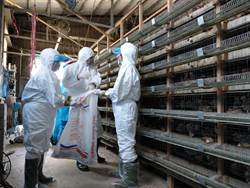 全台首例 鵪鶉場感染禽流感 撲殺4萬6千餘隻