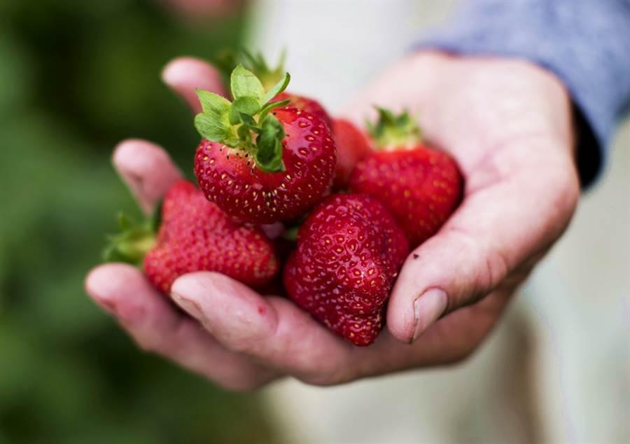 澳洲民眾再度在盒裝草莓內發現釘子、螺絲,引外界疑慮草莓藏針千面人事件再度重演。(資料照/美聯社)