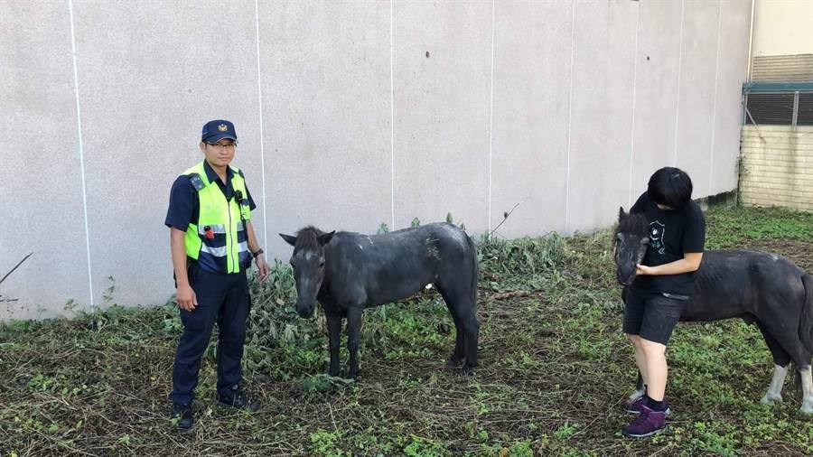 迷路的兩匹迷你黑馬相當溫馴。(翻攝照片/戴志揚台中傳真)