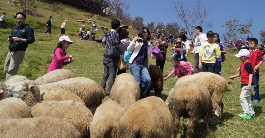 ▲現在前往清境農場旅遊還可享受牧羊之樂。(楊樹煌攝)