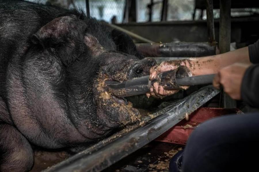 動保團體台灣動物社會研究社自8月19日起於公共政策網路參與平台提議「終止神豬重量比賽祭祀」,今(2)日順利通過5000人附議門檻。(摘自「公共政策網路參與平台」)