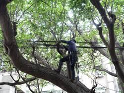加強樹木保護  景觀處悉心照顧永和老刺桐