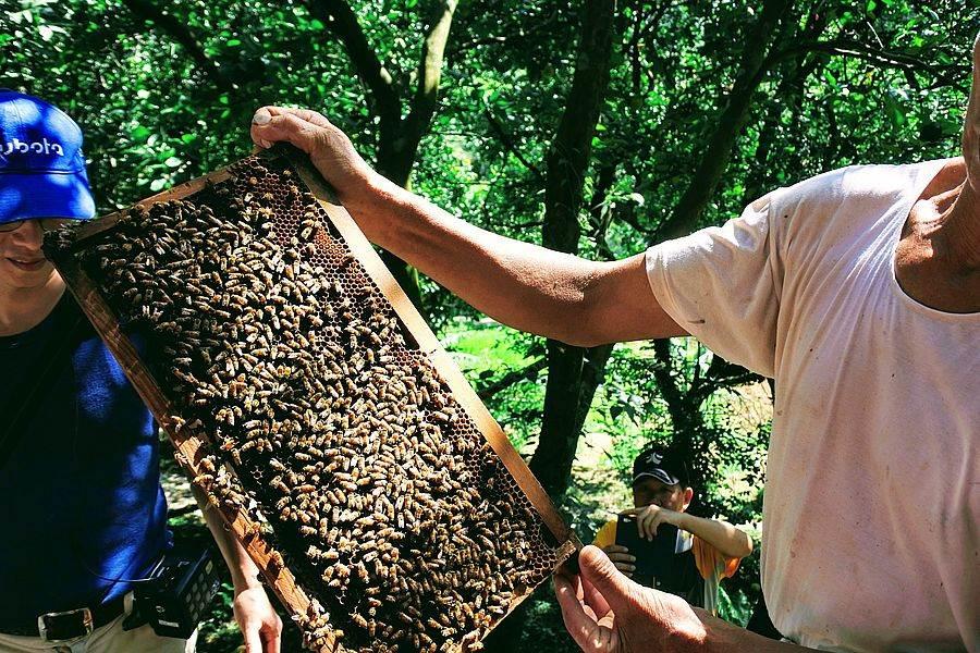 三芝「牧蜂農莊」看看女王蜂如何率領工蜂築新巢。
