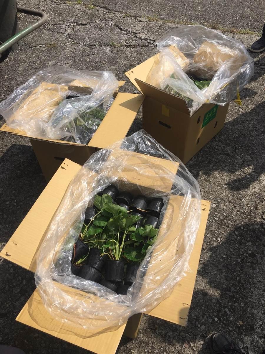 大湖莓農將2萬株豐香品種草莓苗外銷東南亞國家。(巫靜婷攝)