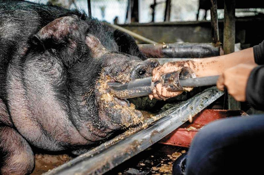 動保團體台灣動物社會研究社提議「終止神豬重量比賽祭祀」,順利通過5000人附議門檻。(摘自「公共政策網路參與平台」)