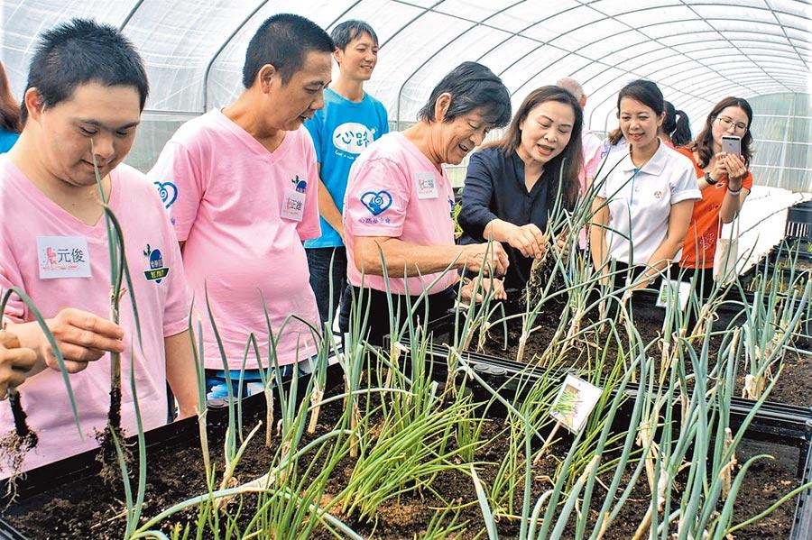心路基金會樂朋家園打造澎湖第1座身障者溫網室療癒愛心菜圃。(陳可文攝)