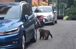 抓猴!山林台灣獼猴遊蕩到出海口引起住戶心驚