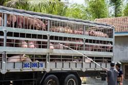 越南豬瘟,全國淪陷