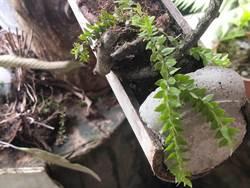 網路販售瀕危植物「小垂枝石松」遭林管處查獲