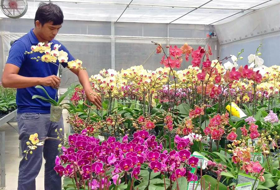 台灣蘭花外銷市場遍及全球,屏東永宏蘭業組培蘭花瓶苗出口約占全台出口量1/10,特別的是,公司員工有1/3是原住民族,為在地部落提供許多工作機會。(潘建志攝)