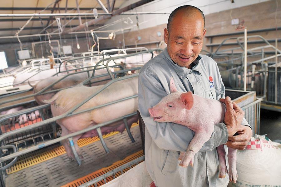 大陸豬價走揚,山西朔州一大型養豬場,養殖戶擴欄補欄,增加豬仔數量。(中新社)
