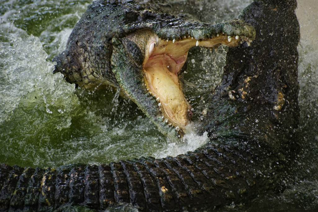 目擊巨鱷吞食同類!遊客全嚇傻(示意圖/達志影像)