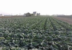 高麗菜超種如何制止?農會提妙招