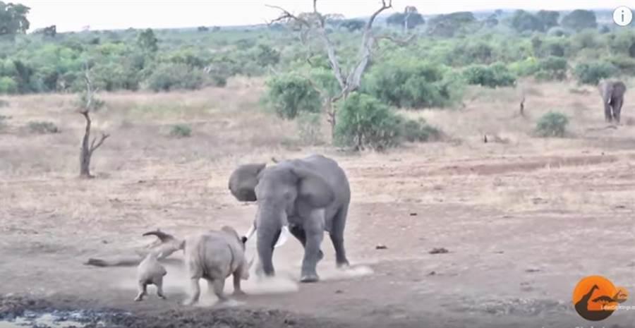 非洲象與犀牛正面對決。(截自youtube畫面)
