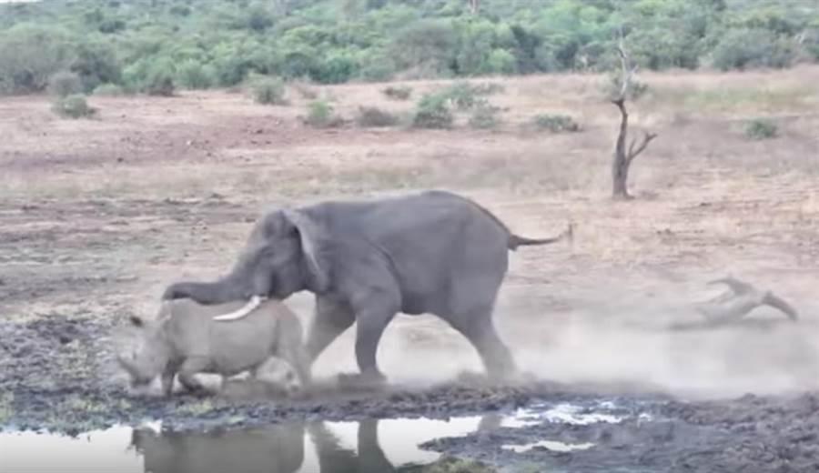非洲象KO犀牛。(截自youtube畫面)