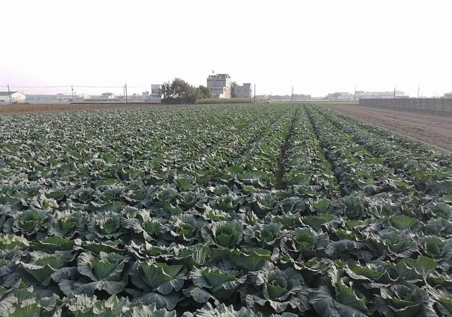 截至目前,雲林縣高麗菜超種70多公頃,農政單位籲農民不要再搶種,否則會崩盤。(許素惠攝)