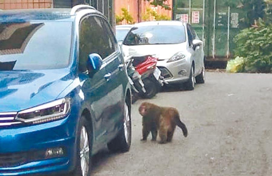 山林的台灣獼猴出沒濱海福興鄉龍舟路,引起附近住戶恐慌。(摘自我愛鹿港小鎮臉書)