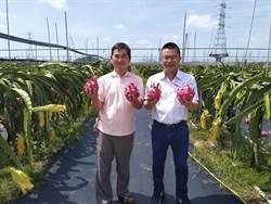 五金貿易商半路出師 開創生態紅龍果園