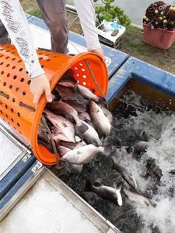 金目鱸產量暴增 漁業署啟動補助收購措施