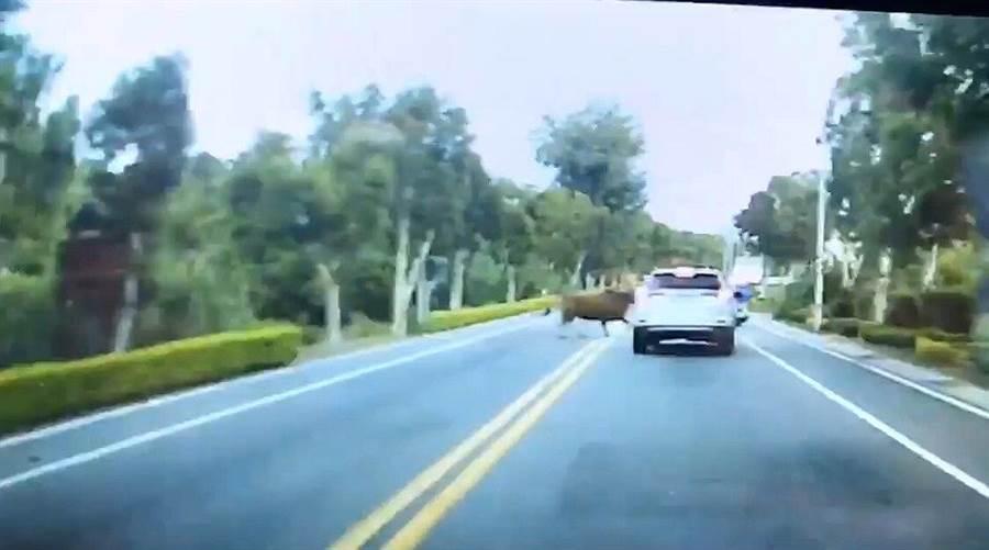金門昨(5)日下班時段,發生1隻大黃牛突然自路旁竄出衝撞小轎車,還好駕駛機警處置得宜,幸運逃過一劫。(取自靠北金門/李金生金門傳真)