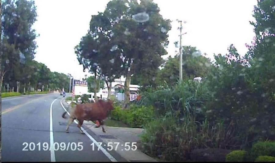 大黃牛衝撞轎車後,帶著繩索跑到對向道路。(取自靠北金門/李金生金門傳真)