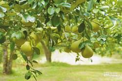 醫曝柚子3驚人效果 但這樣吃有危險