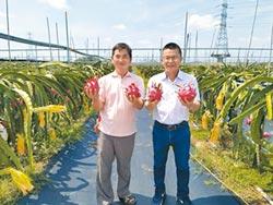 貿易商半路出師 打造生態紅龍果園