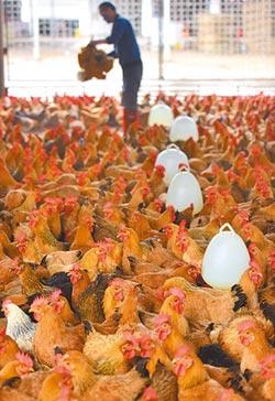 跟著豬肉漲 清遠雞價格飆3成