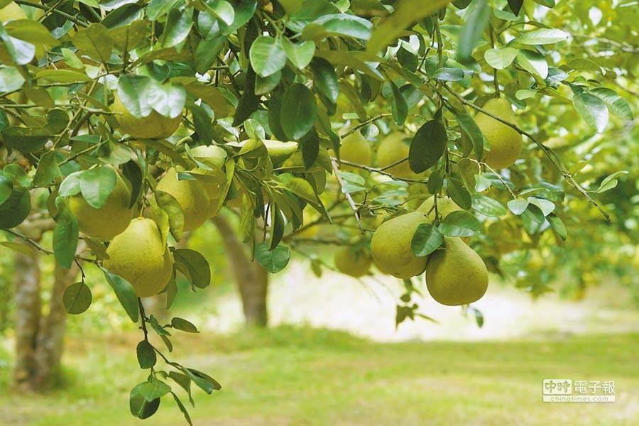 柚子。(資料照片/中時)