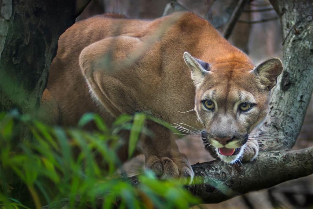 8歲童遭美洲獅咬頭 勇揮樹枝肉搏(示意圖/達志影像)