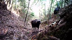 珍貴影像!雲南拍到現存世界上體型最大牛