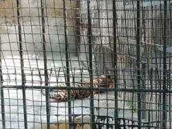 河南一馬戲團脫逃老虎被捕獲 送到動物園時已死亡