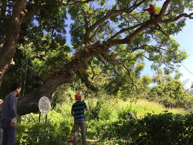 位於苗栗市新川里麻園坑的百年「番蒜」為苗栗縣政府公告列管的受保護樹木。(苗栗縣政府提供/何冠嫻苗栗傳真)