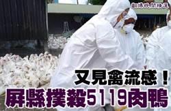 《翻爆晚間精選》又見禽流感!屏縣撲殺5119肉鴨