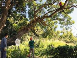 保護百年番蒜 攀樹師修剪健檢